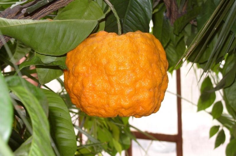 Растение для здоровья и красоты — померанец